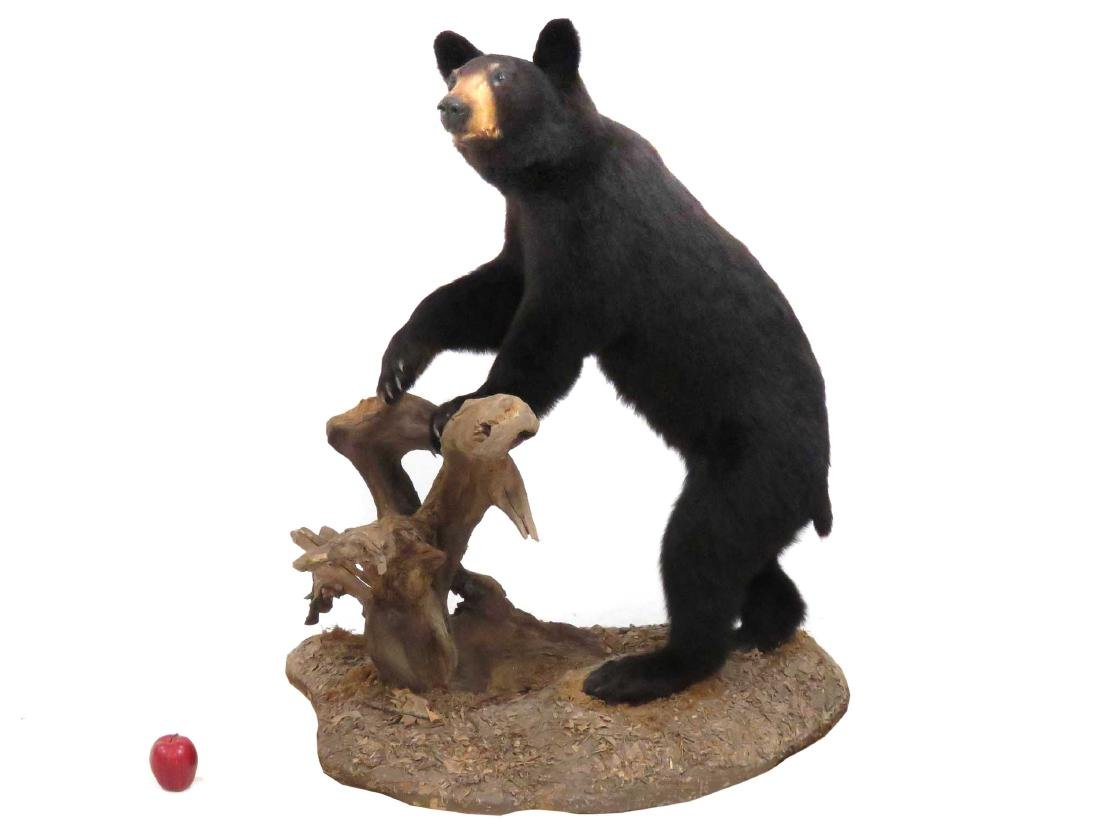 "BLACK BEAR FULL BODY TROPHY FLOOR MOUNT. HEIGHT 49"";"