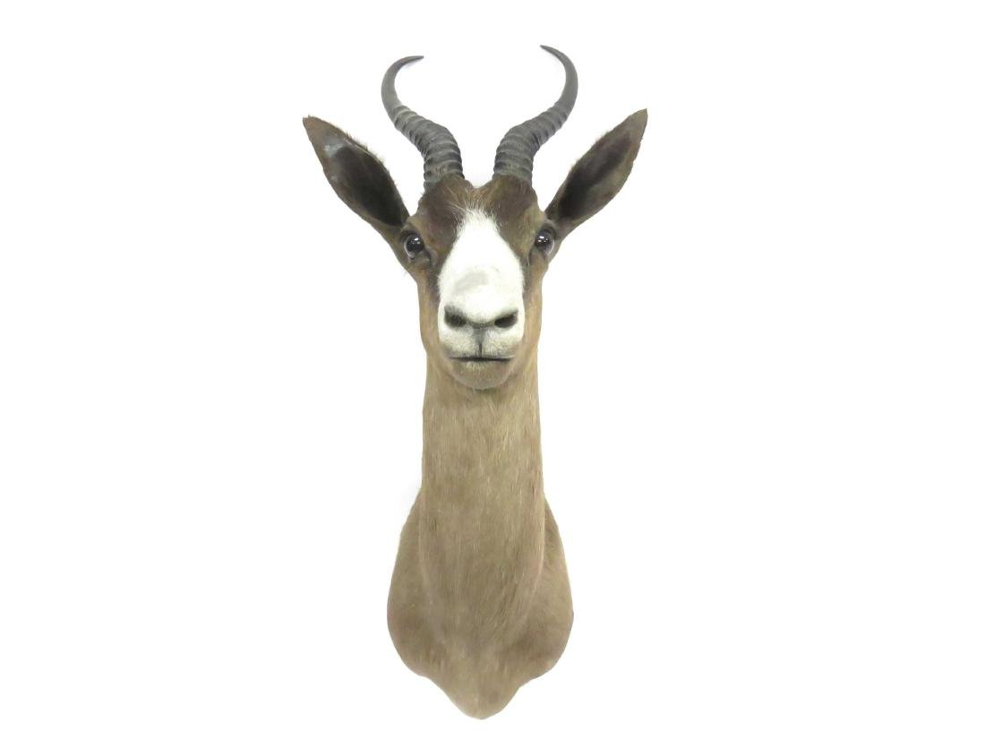 "SPRING BOK SHOULDER TROPHY MOUNT. HEIGHT 26"" - 2"