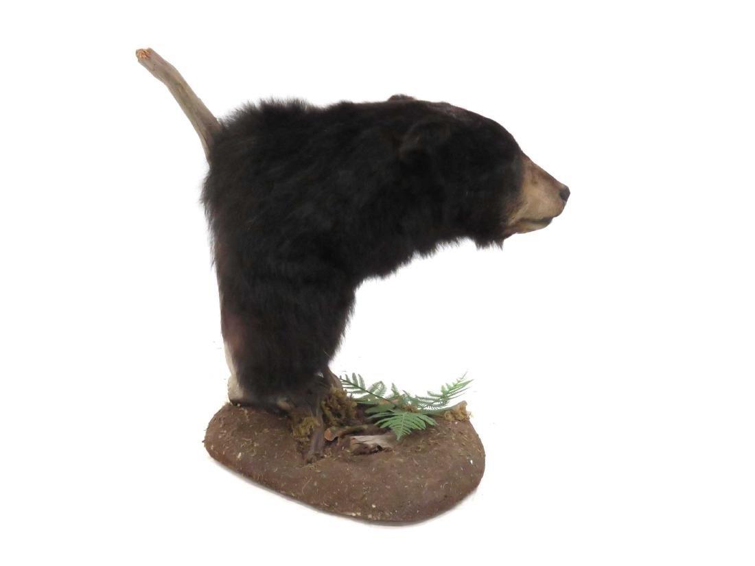 BLACK BEAR TROPHY HEAD MOUNT WITH FLOOR MOUNT. HEIGHT - 2