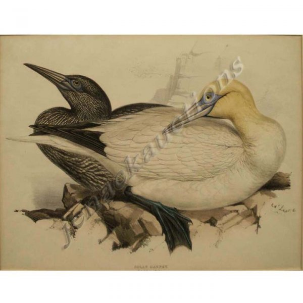 2016: COLORED LITHOGRAPH, SOLAN GANNET, SIGNED ED' LEAR