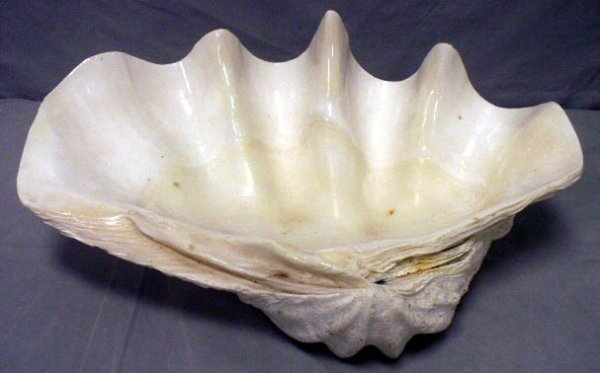 2012: GIANT CLAM SHELL (TRIDACNA GIGAS SOUTH PACIFIC)