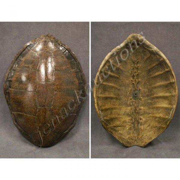 115: ANTIQUE SEA TURTLE SHELL