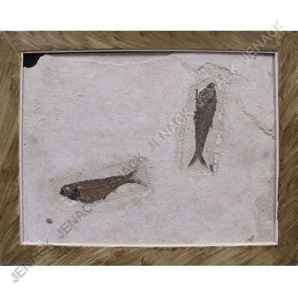 11: FINE FOSSIL FISH GROUP