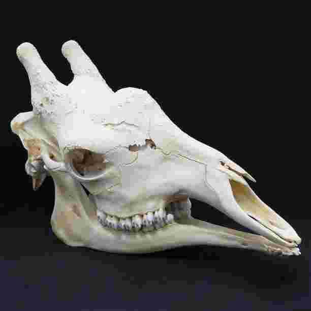 Adult Giraffe Skull Complete With Teeth