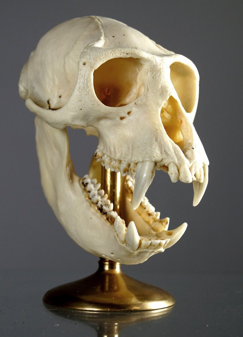 CRAB EATING MACAQUE MONKEY SKULL MOUNT (MACACA