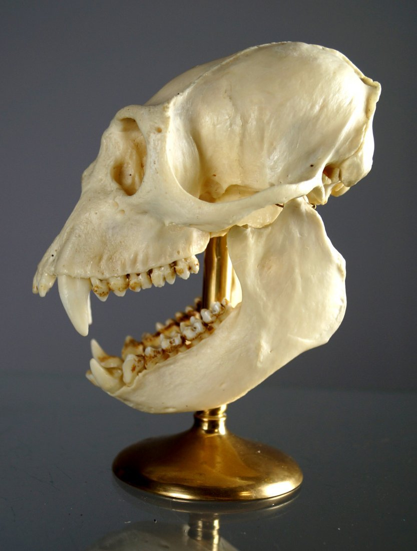 CRAB EATING MACAQUE MONKEY SKULL MOUNT (MACACA - 2