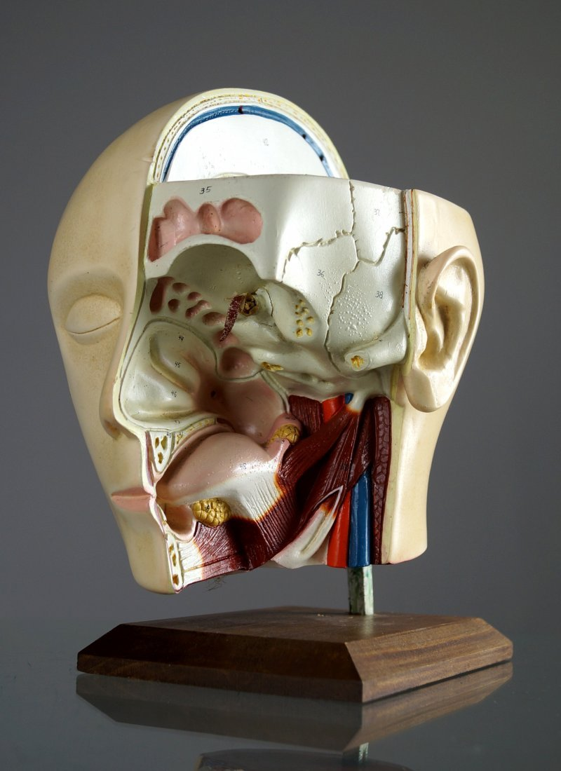 VINTAGE HUMAN ANATOMICAL HEAD/THROAT AND SINUS MODEL.