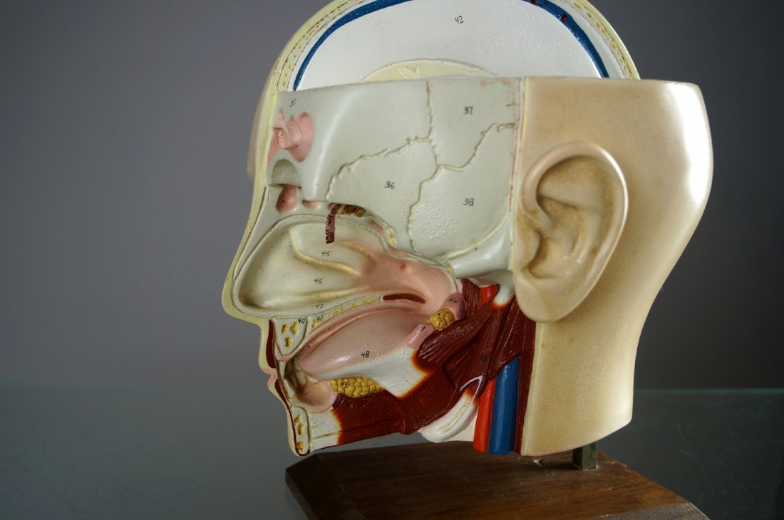 VINTAGE HUMAN ANATOMICAL HEAD/THROAT AND SINUS MODEL. - 2