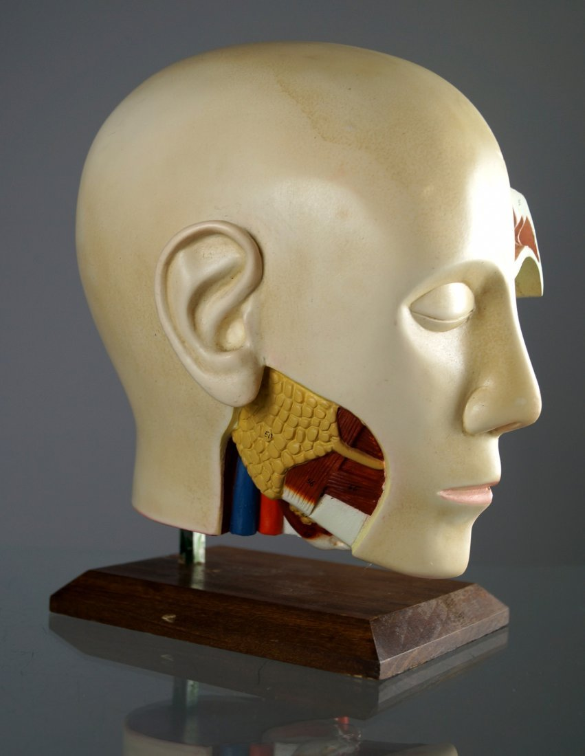 VINTAGE HUMAN ANATOMICAL HEAD/THROAT AND SINUS MODEL. - 3