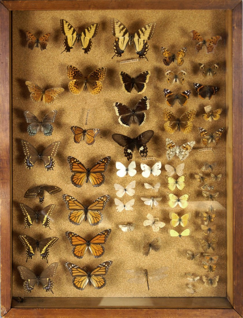 """BUTTERFLY AND MOTH COLLECTION, CASED. 25 X 19"""""""