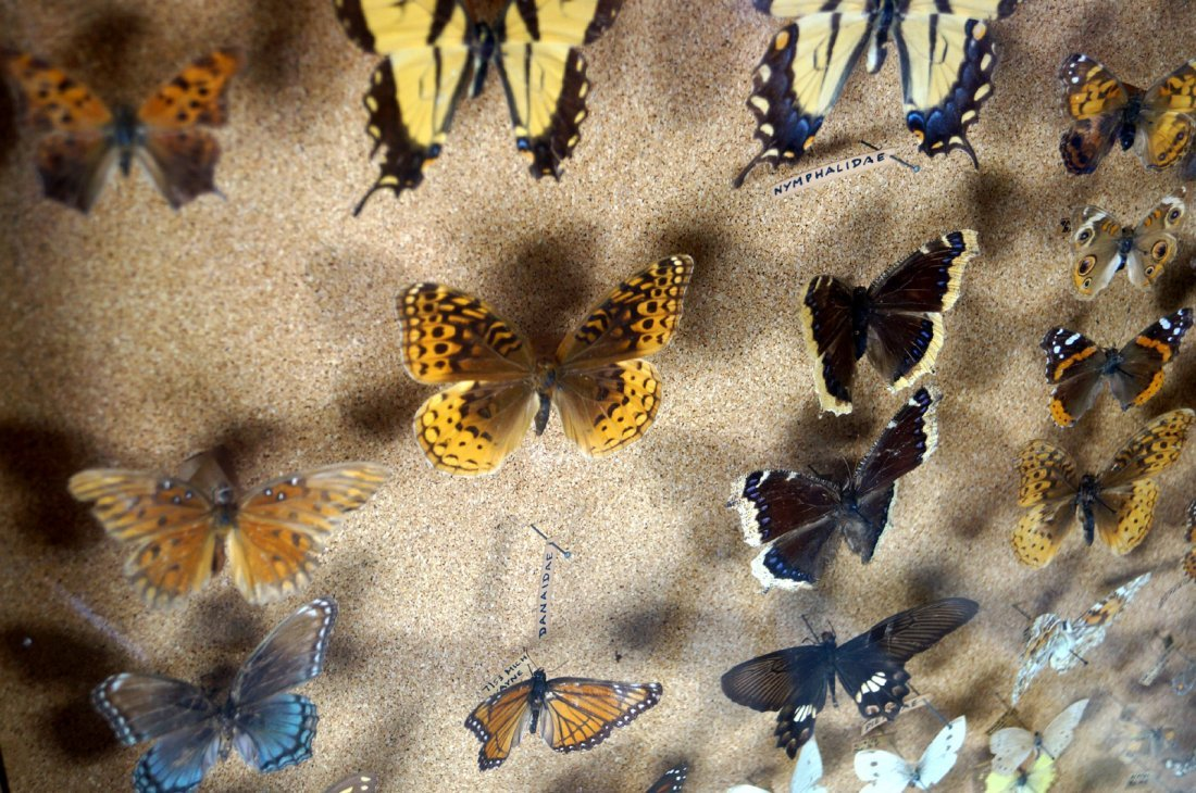 """BUTTERFLY AND MOTH COLLECTION, CASED. 25 X 19"""" - 2"""