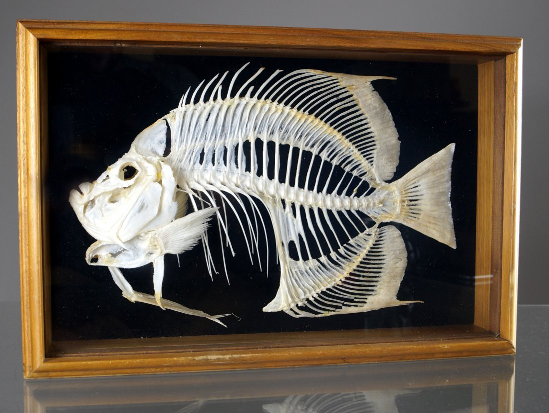 MUSEUM QUALITY BUTTERFLY FISH SKELETON MOUNT. FRAMED