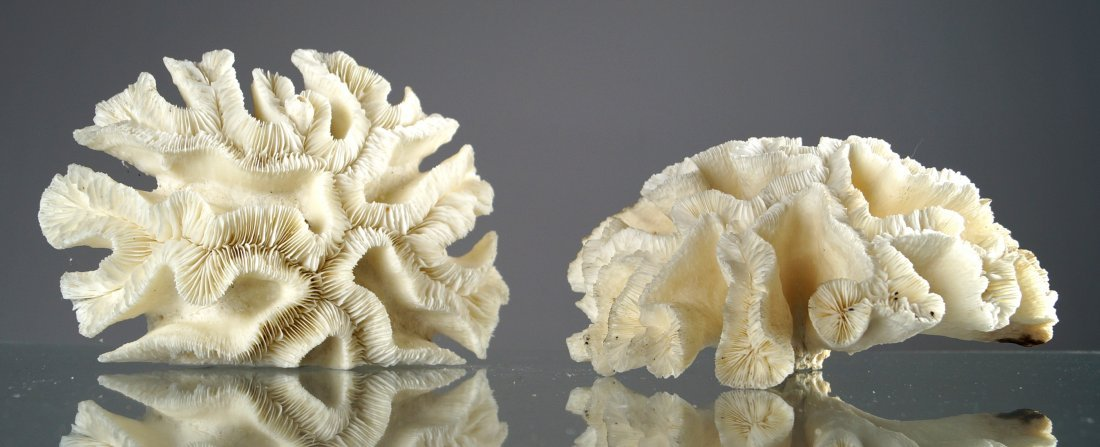 "LOT (2) MAZE CORAL SPECIMENS. HEIGHT 4 1/2""; DIAMETER"