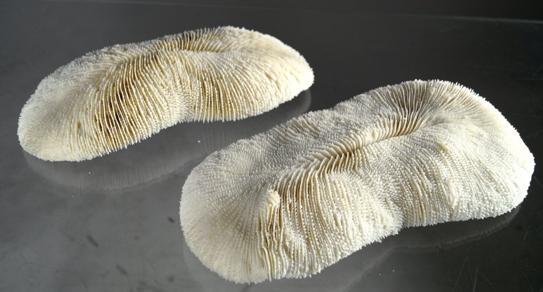 LOT (2) SLIPPER CORAL SPECIMENS (POLYPHILLIA SP). 10