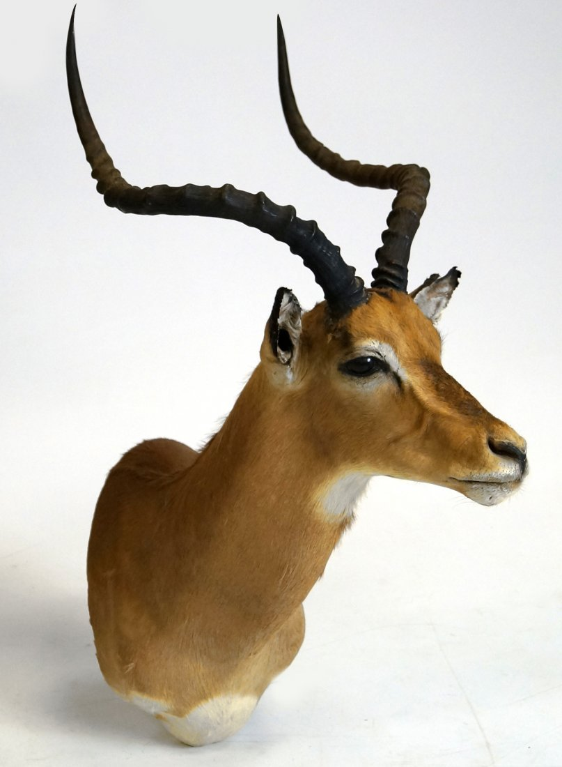IMPALA TAXIDERMY MOUNT. HEIGHT 40""