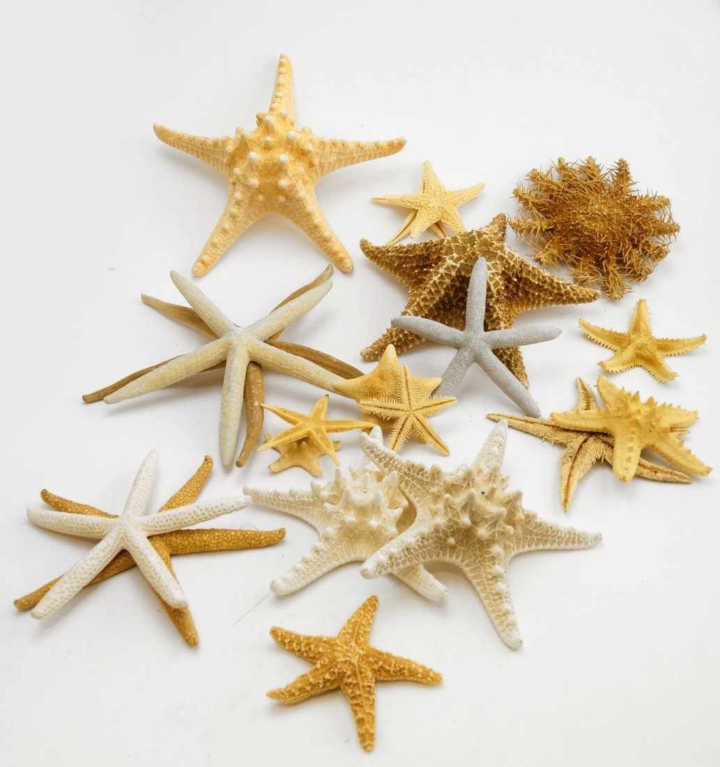 LOT ASSORTED STARFISH, DRIED