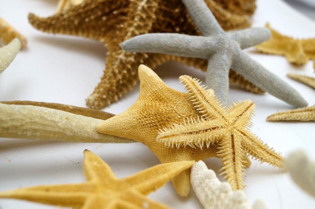 LOT ASSORTED STARFISH, DRIED - 2