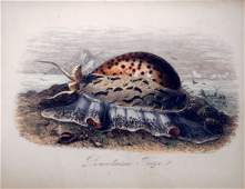 """FRENCH HAND COLORED ENGRAVING, """"PORCELAINE TIGRE"""","""