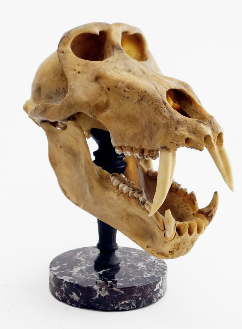 ARTICULATED CHACMA BABOON SKULL