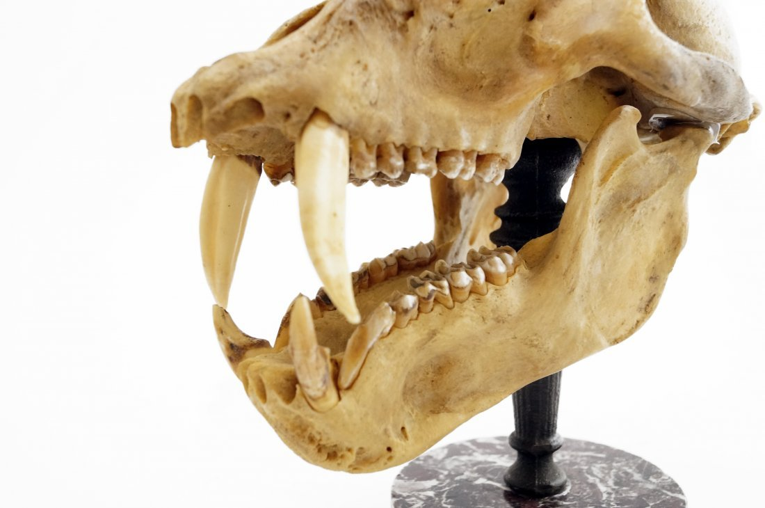 ARTICULATED CHACMA BABOON SKULL - 5