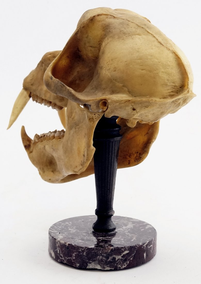 ARTICULATED CHACMA BABOON SKULL - 6