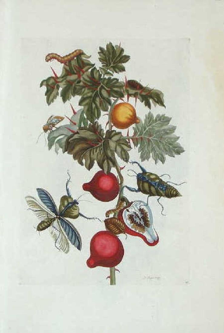Maria Sibylla Merian. Nipple Fruit & Leaf Mantis.