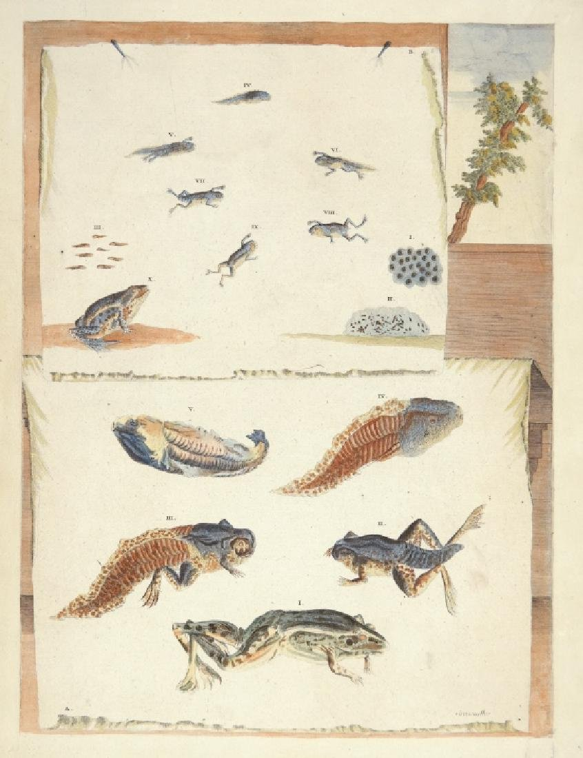 Maria Sibylla Merian. Frog Metamorphosis. 1726.