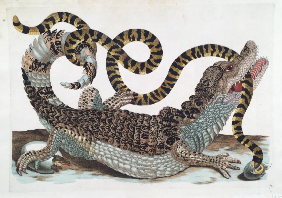 Maria Sybilla Merian. Cayman with Snake. 1719.