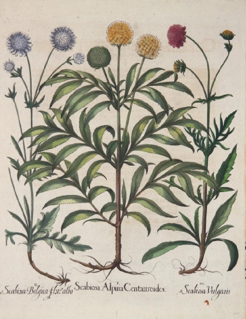 Besler. Scabiosa Alpina Centauroides. 1613.