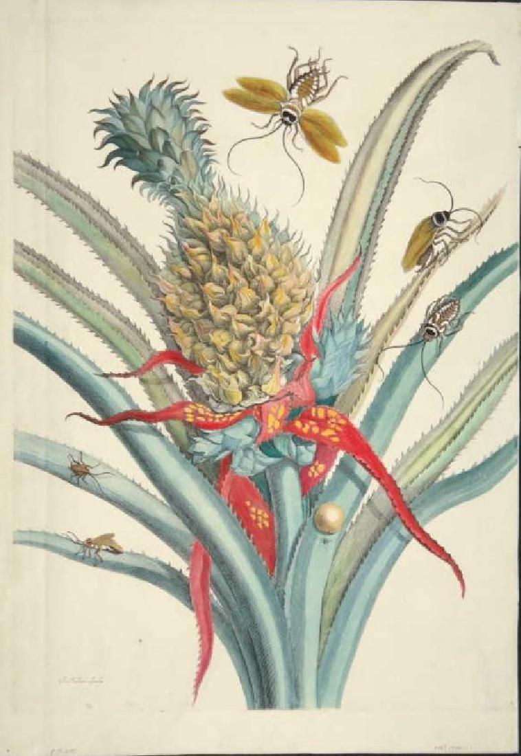 Maria Sybilla Merian. Pineapple. 1705.