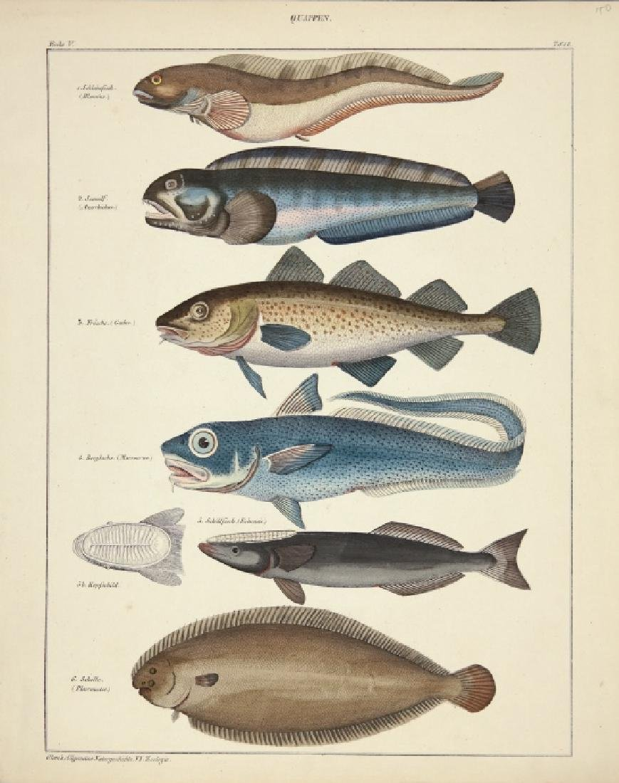 Oken's Zoologie. 3 fish and porpoise studies. 1850