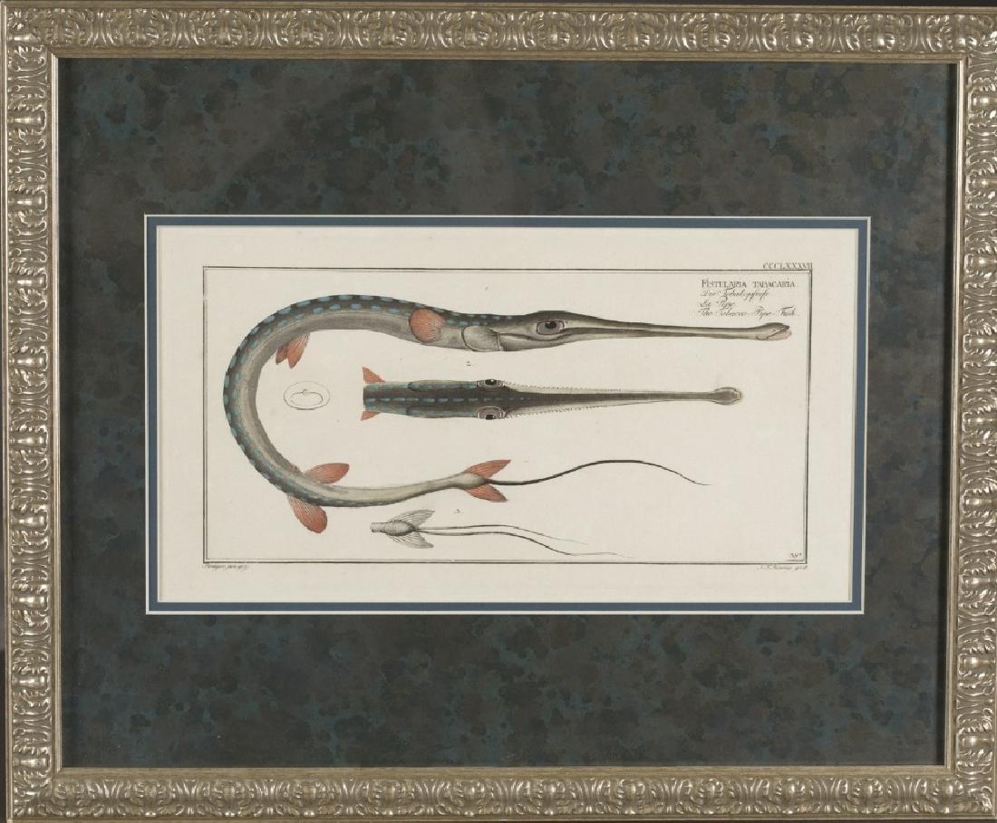 Marcus Elieser Bloch. Fistularia Tabacaria. 1780.