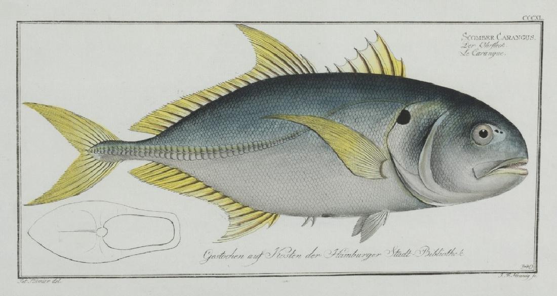 Marcus Elieser Bloch. Scomber Carangus. c.1780.