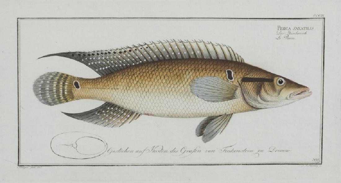 Marcus Elieser Bloch. Scomber Chloris. c.1780.