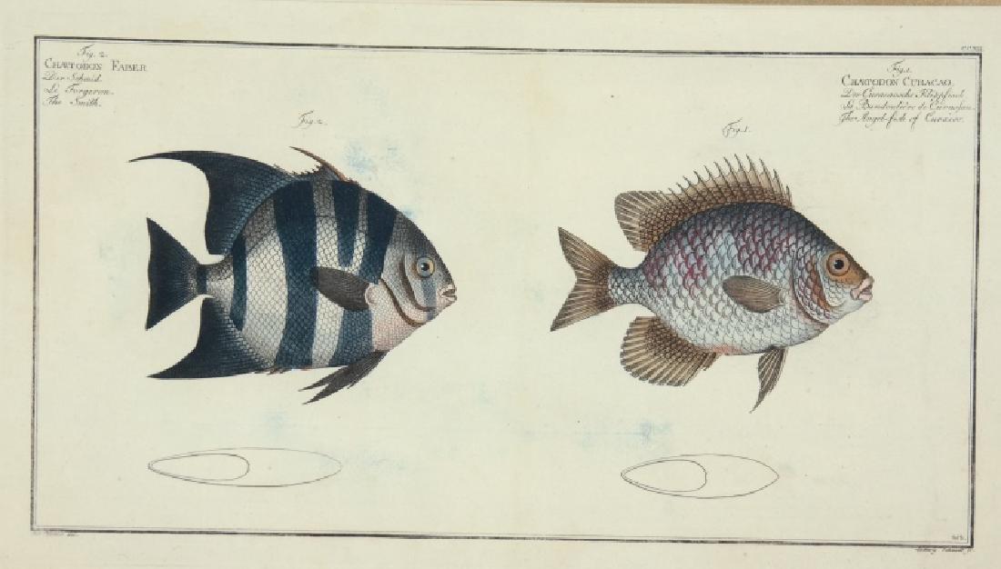 Marcus Elieser Bloch. 2 Ichthyology Plates. c.1780