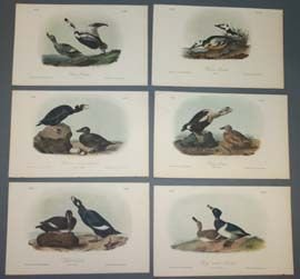 7: Audubon prints: 10 plates of ducks and mergansers.