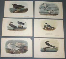 8: Audubon prints: Albatross, Gulls, Terns, Jager...
