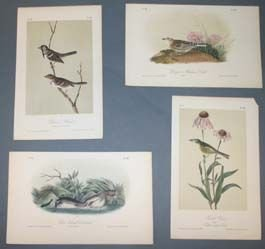 9: Birds (guillemots, grebes, etc.) Audubon prints.