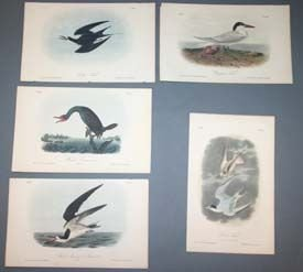 11: Audubon prints: 10 plates of terns and cormorants.