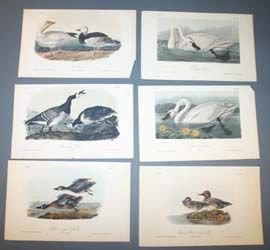 13: 10 Audubon bird prints: Bitterns, wood duck, etc.