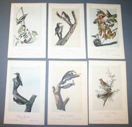 15: 10 Audubon prints: Woodpeckers, greenlets, etc.