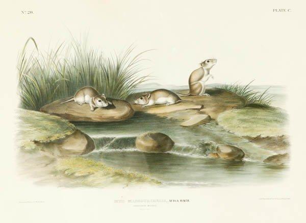 4: Large color Audubon: 3 mice on rocks in creek.