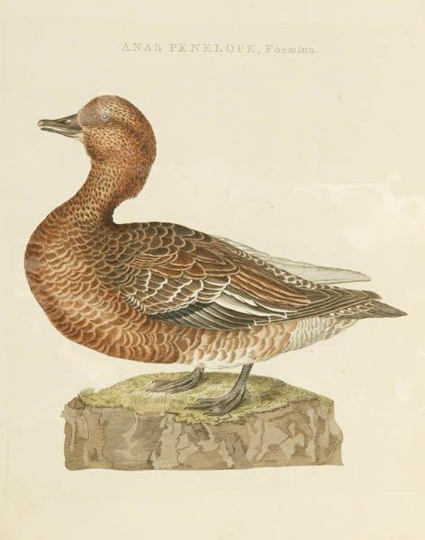 7: Cornelius Nozeman, Hand colored bird print