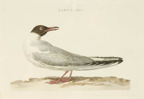 8: C. Nozeman, Hand colored bird print: ''Larus, Mas.''