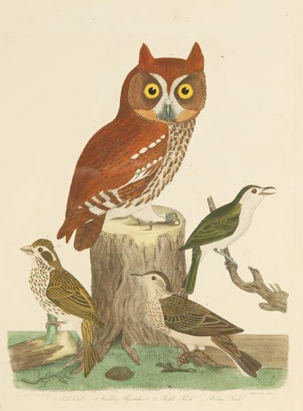 11: Wilson: 3 colored bird engravings