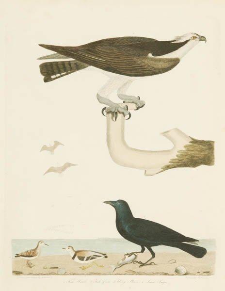 12: Alexander Wilson: 3 Colored bird engravings