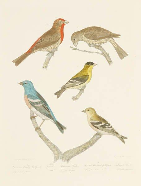 13: Alexander Wilson: 3 colored bird engravings