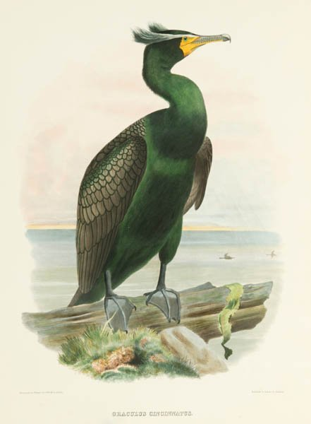 14: 2 colored lithographs of birds: Elliot & Wolf