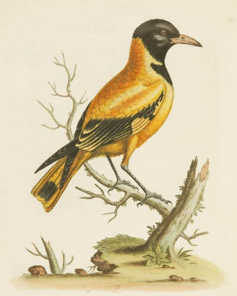 16: 5 bird Engravings: George Edwards, others