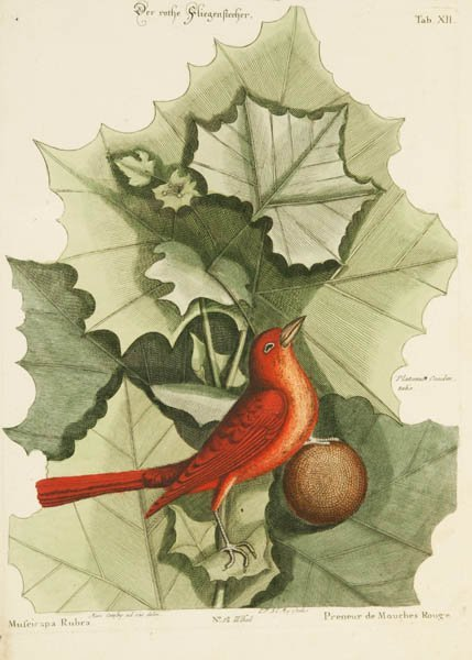 18: Catesby, Mark. 3 hand-colored prints